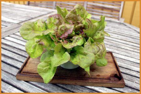 Blushed Butter Oak ekologisk huvudsallad odlad i Vega